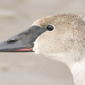 a Young Whistling Swan