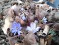 Lilac stars in Calgary - Calgary, AB