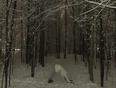 Downward snow dog - Orléans, ON, CA