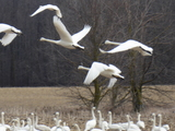 Tundra Swans - Atwood, ON