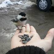 feeding the chickadees ottawa on