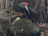 Pileated Woodpecker  - Happyland, ON, CA