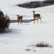 deer at current river