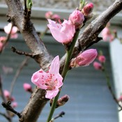 FIRST PEACH BLOSSOMS Nanaimo, March 29, 2017