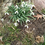 Springs first Snow Drops