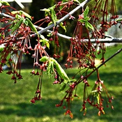 Maple Tree Buds Opening