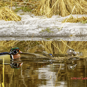 Wood Ducks in my pond