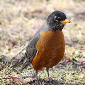 Handsome Robin