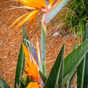 Colorful Bird of Paradise!