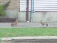 Bunnies - Guelph, ON
