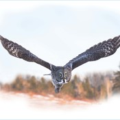 Approaching Great Gray Owl