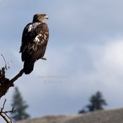 Immature bald eagle, Red-tailed hawk, Osprey, Rough-legged hawk