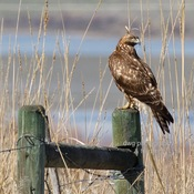 Red-tailed hawk,Osprey, Rough-legged hawk