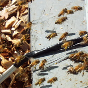 honey bees at work