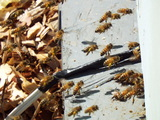 honey bees at work - 476-530 Chapples Dr, Thunder Bay, ON P7C,