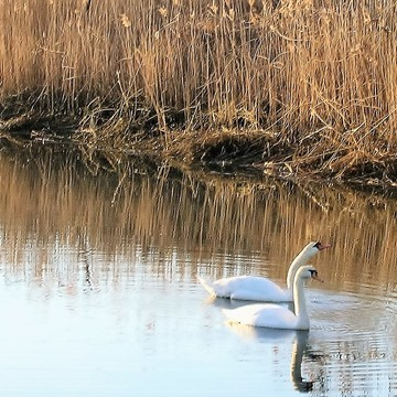 Swans waiting for spring