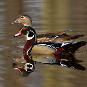 Wood Ducks (breeding pair)