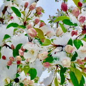Apple blossoms in an Albertan spring snow
