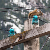 telephone squirrel