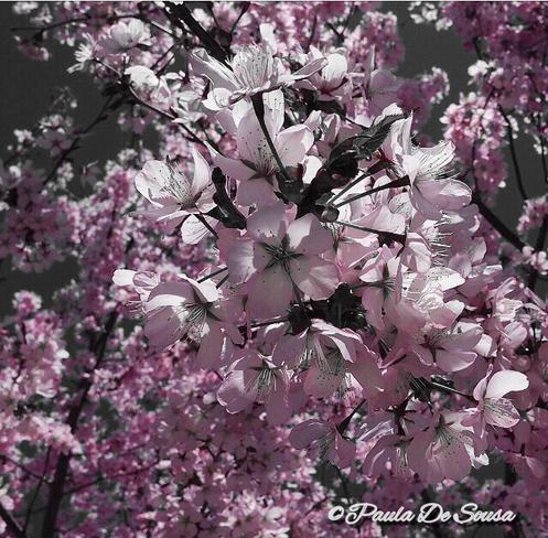 The beautiful Sakura tree aka cherry blossoms??