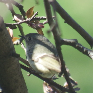 itty-bitty Nuthatch or Towhee?