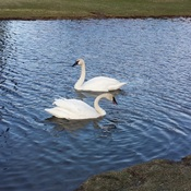 Swans at Lily Creek