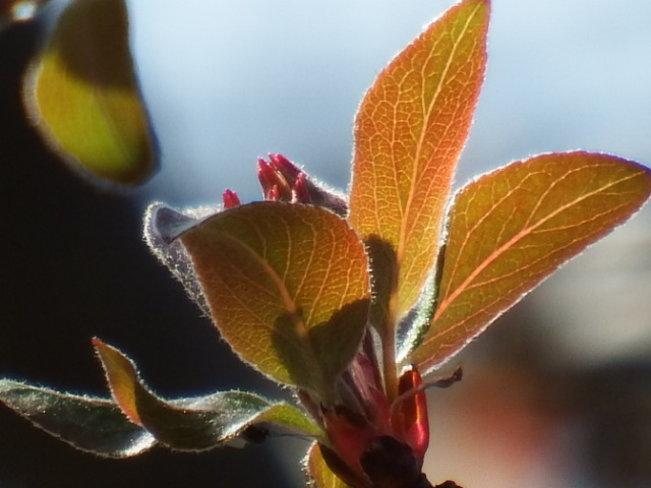 Cherry Blossom bud
