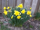 Beautiful daffodils  - Milverton, ON