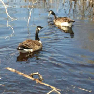 Geese swimming in the swamp...