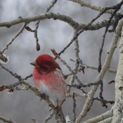 Redpoll ready for spring