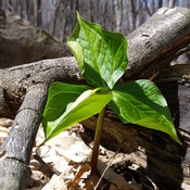 trilliums are starting