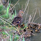 A duck family has 15 ducklings