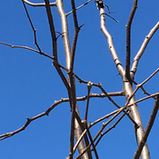 Blue Skies,Birch Trees and Woodpeckers in the Backyard