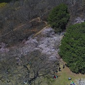 Cherry blossoms at high park