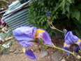 Iris, my home - Sutter Creek, CA