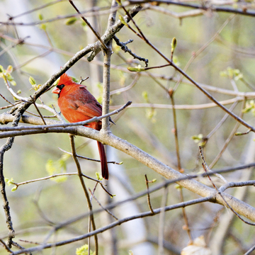 Beautiful cardinal in Springbank Park
