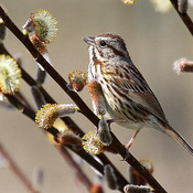 Song Sparrow on Spring Blooms