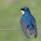 Beautiful purple martin