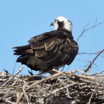Osprey are Back on PEI