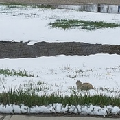 Snow Gophers?