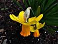Bright Orange Trumpet Daffodil