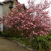 Magnolia blooms in neighborhood in Toronto