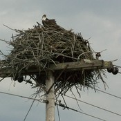 Osprey at Fenel Rd.