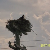 Osprey nest, Mitchell Lake