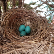 Robins eggs.
