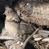 Spring 'Ruffed Grouse'