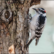Knock Knock! Who's There? Downy Woodpecker - that's who!
