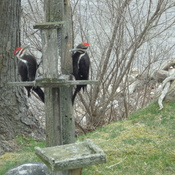 Male and female Pileated Woodpeckers