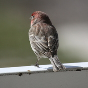 Male Common Redpoll