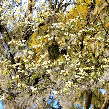 Dancing blossoms with spanish moss.